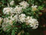 Pimelia linifolia