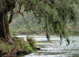 Casuarinas overhanging the Nepean River where it leaves Bents Basin