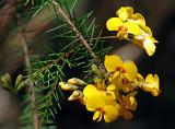 Dillwynia retorta
