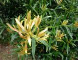 Plum Pine foliage