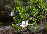 Leptospermum – which one?