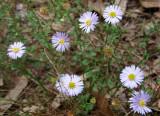 Calotis cuneifolia ???