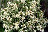 Hakea teritefolia