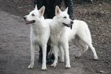Canadian White Shepherd060218-014
