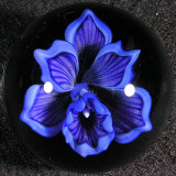 Blue Bayou Orchid Size: 1.44 Price: SOLD