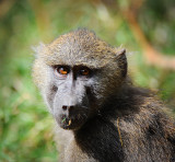 baboon monkey.Manyara NP