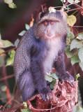 velvet monkey.Manyara NP