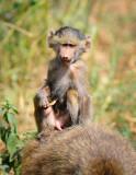 Baboon monkey . Manyara NP