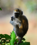 Vervet monkey . Manyara NP