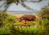 Hippo . Manyara NP
