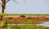 Wild Buffalo. Manyara NP