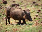 warthog . Manyara NP