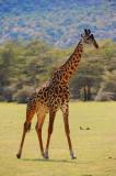 giraffe. Manyara NP