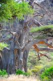 Baobab tree. Manyara NP