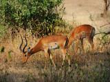 Impala Entelope .Manyara NP