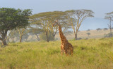 Giraffe.Serengeti
