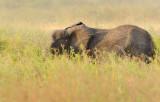 Elephant.Serengeti