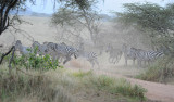 Zebras crossing the road.Serengeti