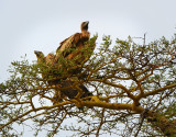 Vultures.Serengeti