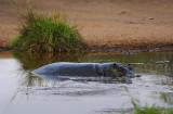 Hippo.Serengeti