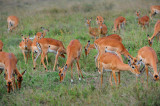 Impalas.Serengeti