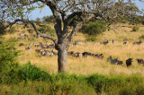 Zebras & Wildebeests. Serengeti