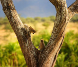 Monkey.Serengeti