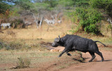 Wild buffalo.Serengeti