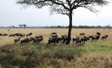 Wildebeests migrate near Grumeti river