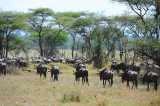 Wildebeests move toward nothwest region of Serengeti