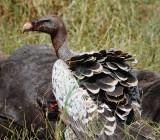 Rupell's Griffon Vulture.Serengeti