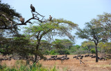 Vultures and Wildebeests near Grumeti river