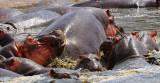 Hippos.Serengeti