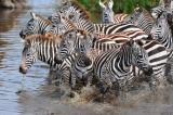 zebras.Serengeti