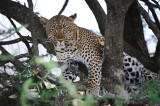 Leopard. Serengeti