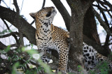 Leopard.Serengeti