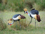 Crowned Crane. Serengeti