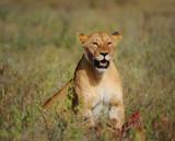 Lioness.Serengeti