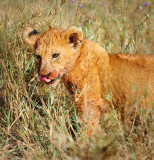 Lion cub.Serengeti