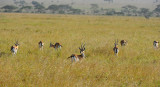 Thomson Gazelles.Serengeti