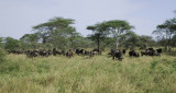 Wildebeests.Serengeti