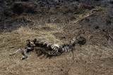 Zebra skeleton ,near Grumeti river Serengeti