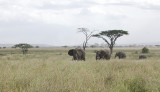 Elephants.Serengeti
