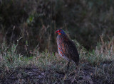 male Crested Francolin. Serengeti