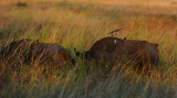 Red billed Oxpeckers.Serengeti