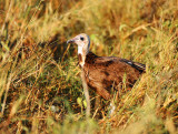 Lappet-faced Vulture.Serengeti