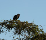 Vulture.Serengeti