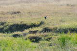 Cheetah and a bird . Serengeti