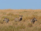 Three Warthogs.Serengeti