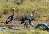 Crowned Crane.Serengeti